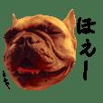 Frenchbulldog Biggie Japan