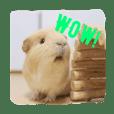 Cuteness overload? Sassy Fun Guinea Pigs