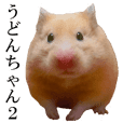 golden hamster 'Udonchan'Part2