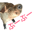 リアル家畜(豚)