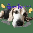 ビーグル犬ぷぅ太