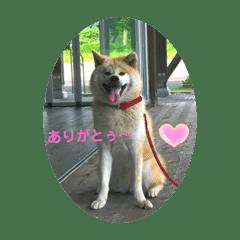 秋田犬のシドニーちゃん