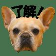 FrenchBulldog Nana
