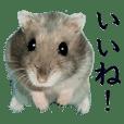 Djungarian hamster Pichu's life