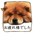 The respect language of chowchow dog