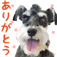 Daily use stickers (Miniature Schnauzer)