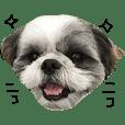 シーズー犬のモカくん