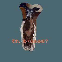 Italian Greyhound CELLO