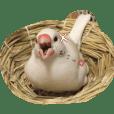 白文鳥のジョン