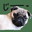 Japanese Pug's Life