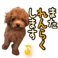 Gentle nature toy poodle(2)