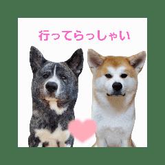 秋田犬 杏 蓮