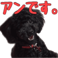 "Black Toy-poodle ""Anne"""