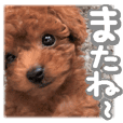 Gentle nature toy poodle(1)