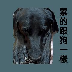 蛋-高山犬