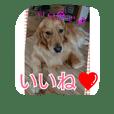 犬(o・ω・o)ゴールデンレトリバー  アリス