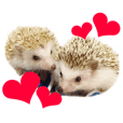 hedgehog Aralefamily