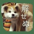 秋田犬 蘭 1