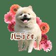 里犬ポメのバニラ