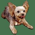 Fun Yorkshire Terrier sticker