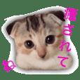 calicocat Munchkin MOMO