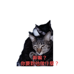 三貓表情包