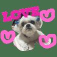 可愛いシーズー犬のビッキー