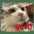サバトラ白猫のしぐれちゃん