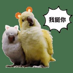 和尚鸚鵡Maji and Han Ji