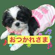 white and black cute shihtzu momoko