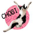 Black and white cat's Chobi