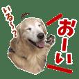 Golden Retriever 9 日常