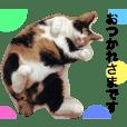 三毛猫ハルちゃん②