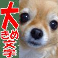 奇瓦瓦的漂亮女孩 ♡可愛的狗 ☆照片