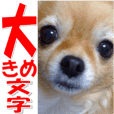 chihuahua tenhime photo sticker