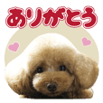 sora toy poodle Sticker