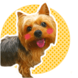 Yorkshire terrier Lychee