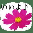 暮らしに花を♪コスモス