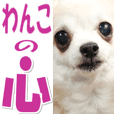 chihuahua cook photo Sticker @Cute dog