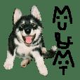 Husky's Musashi and Malamute's Mute