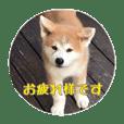 秋田犬 種&玄