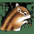 Chewy chipmunk