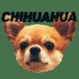 Chihuahua SUKARU  1