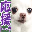 chihuahua nana photo Sticker @Cute dog
