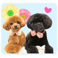 Toy Poodle Nene and Mumu sticker