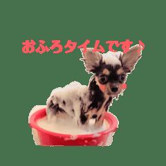 No dog No life (△◕ ᴥ ◕△) チワワ編