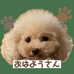 トイプードルのMOMO(関西弁)