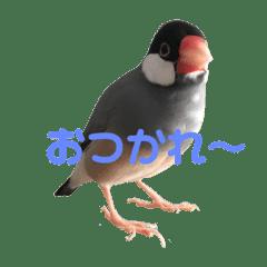 文鳥のラムネ3