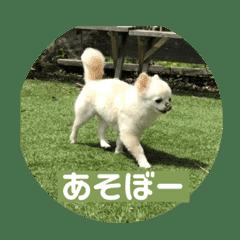 僕の犬の福ちゃん