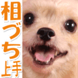 chihuahuaTerrier pan photo Sticker